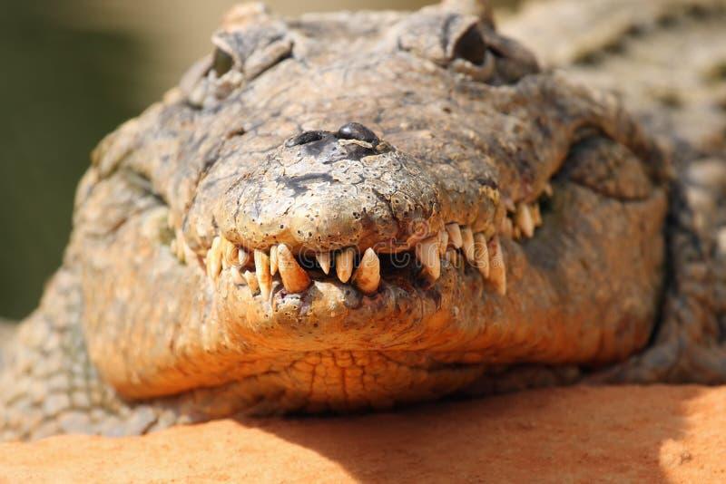 Nil krokodyla Crocodylus niloticus w wodzie fotografia royalty free