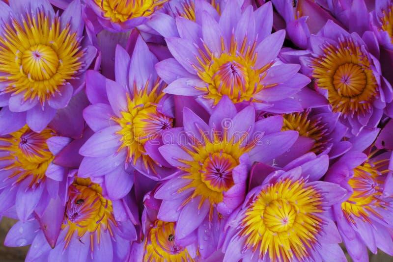 Nil Manel, Nymphaea-stellata, Blauwe Waterlelie, nationale bloem van Sri Lanka Mooie roze violette en gele bloei Aard van A stock afbeeldingen