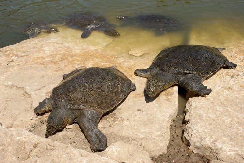 nile łuskał miękkiego trionyx triunguis żółwia fotografia stock