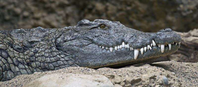 Download Nile crocodile 1 stock photo. Image of menaced, zoology - 25977400
