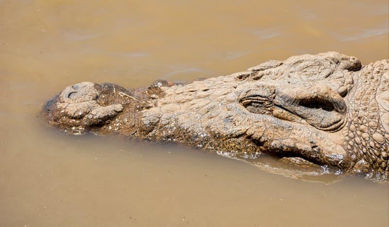 Nile Crocodile stockfoto