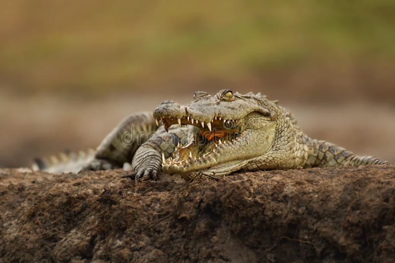Nile Crocodile. A juvenile nile crocodile is warming up in the sun and baring his teeth stock photography