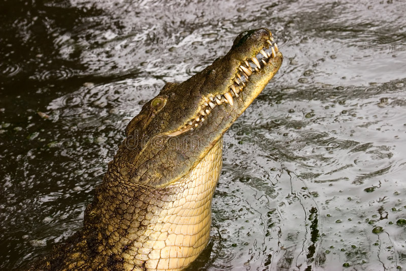 Download Nile crocodile stock image. Image of niloticus, african - 3069061
