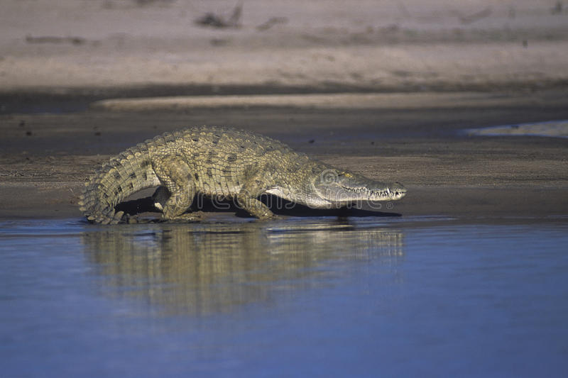 Nile Crocodile stockbild