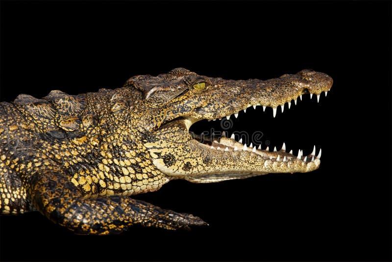 Nile Crocodile Royalty Free Stock Image