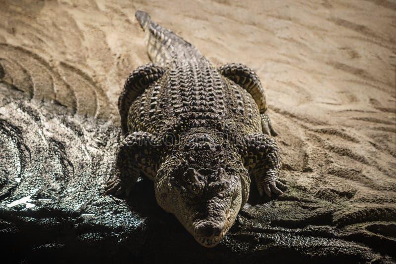 Nile Crocodile fotografia stock libera da diritti