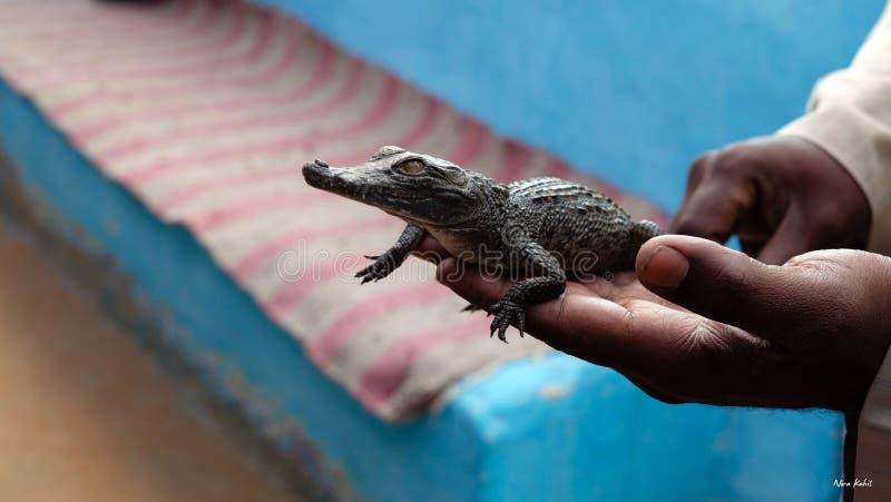 Nile Crocodile stockfotos