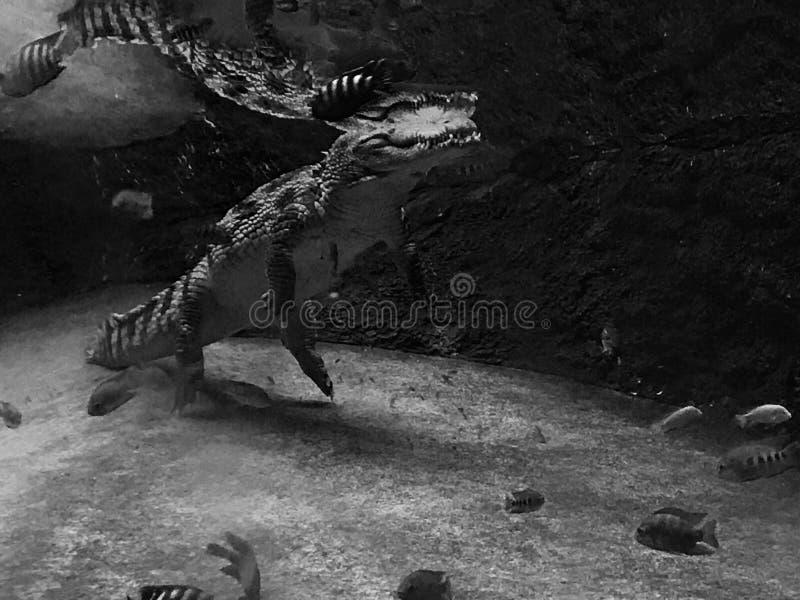 Nile Crocodile photo libre de droits