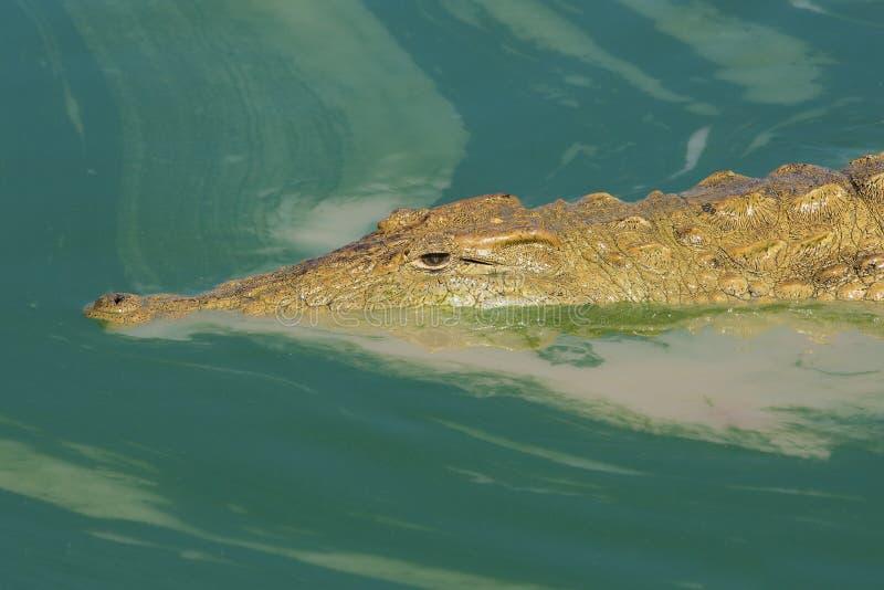 Nile Crocodile in acqua verde oscura, Sudafrica fotografia stock