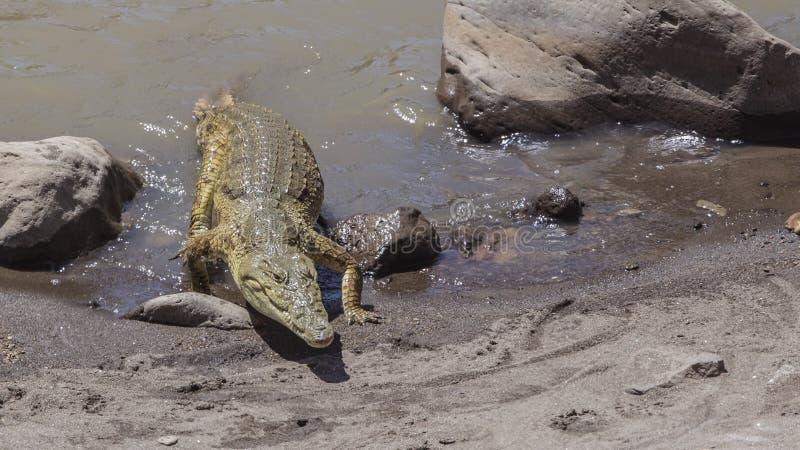 Nile Crocodile Approaching Lakeshore photographie stock
