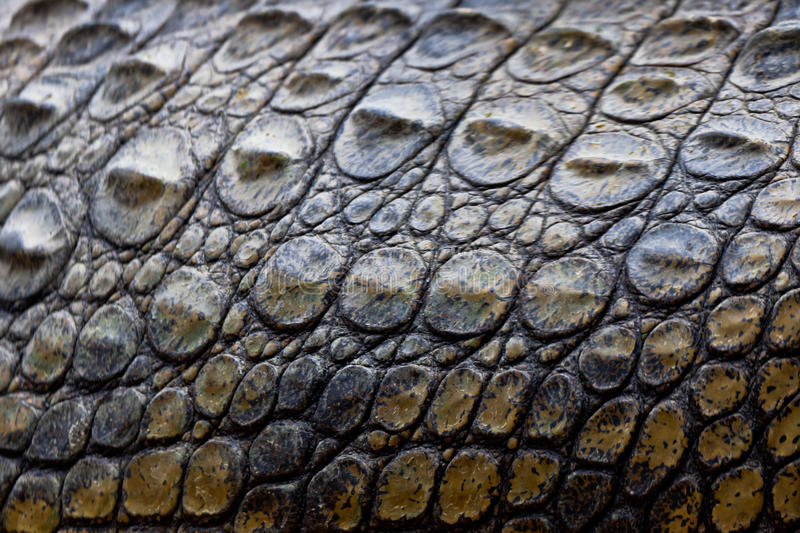 A nile crocodile, Crocodylus niloticus royalty free stock photos