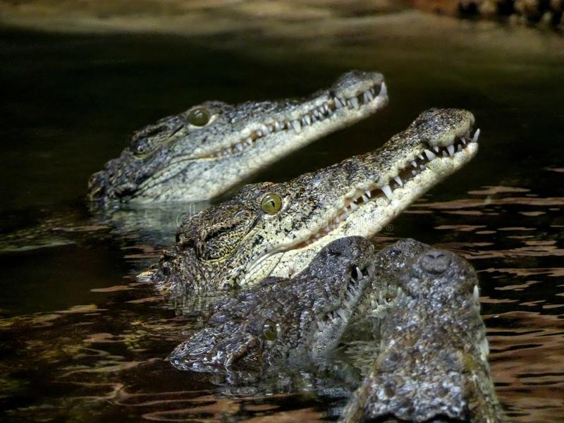 Nile crocodile Crocodylus niloticus, crocodles looking out of the water waiting to feed stock photos