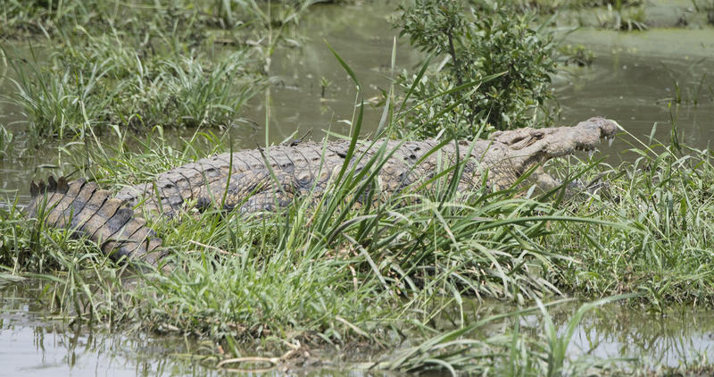 Nile Crocodile Crocodylus-niloticus die in Ondiep Water i rusten stock foto's