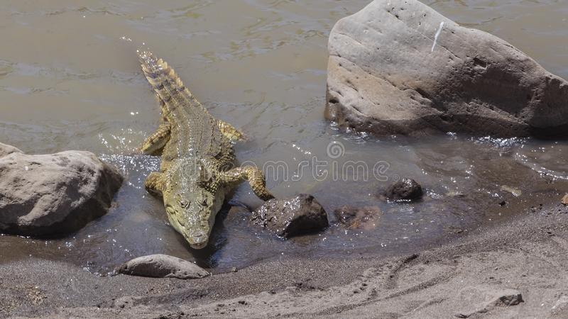 Nile Crocodile Approaching Shore. Nile crocodile, Crocodylus niloticus, largest fresh water crocodile in Africa, is approaching the shore of lake in Awash Falls royalty free stock photos