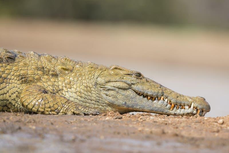 Nile Crocodile (crocodylus niloticus) Sudafrica fotografia stock