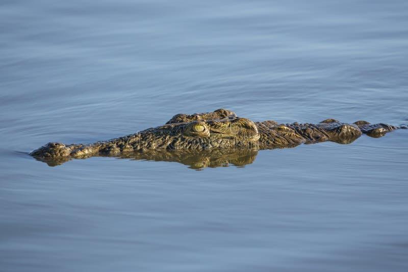 Nile Crocodile (crocodylus niloticus) Sudafrica immagine stock libera da diritti