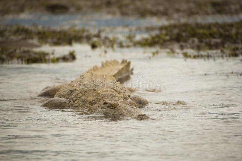 Nile Crocodile die (Crocodylus-niloticus) zwemmen stock fotografie