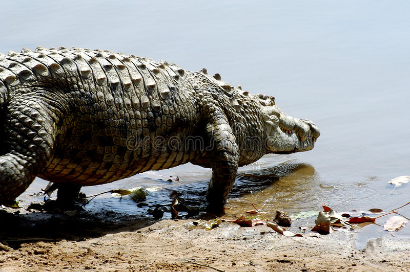 Nile Crocodile Entering Water Royalty Free Stock Photo