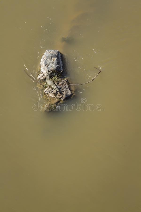 Nile crocodile in Kruger National park, South Africa royalty free stock image