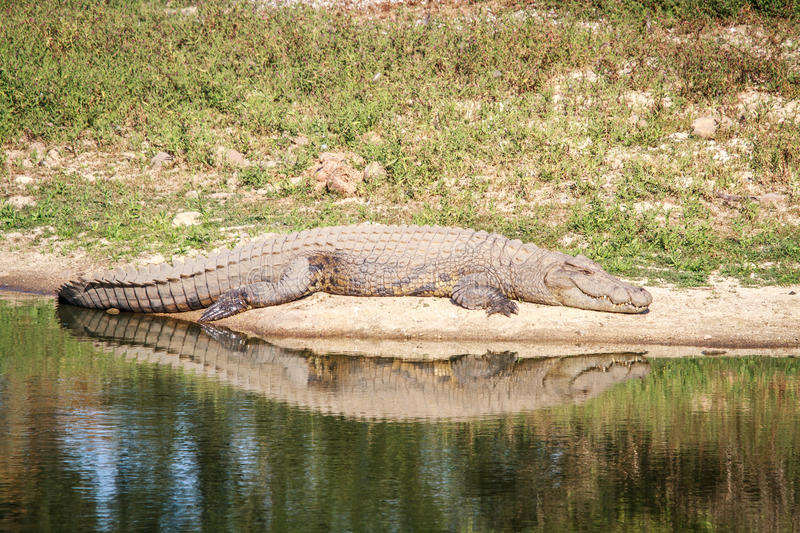 Download Nile Crocodile Laying Next To The Water. Stock Photo - Image: 83714107