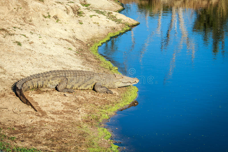 Download Nile Crocodile Laying Next To The Water. Stock Image - Image: 83714995