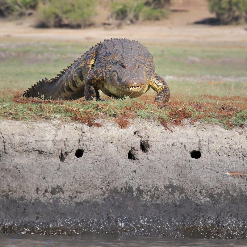 Download Nile Crocodile Lying On River Bank Stock Image - Image: 26524273