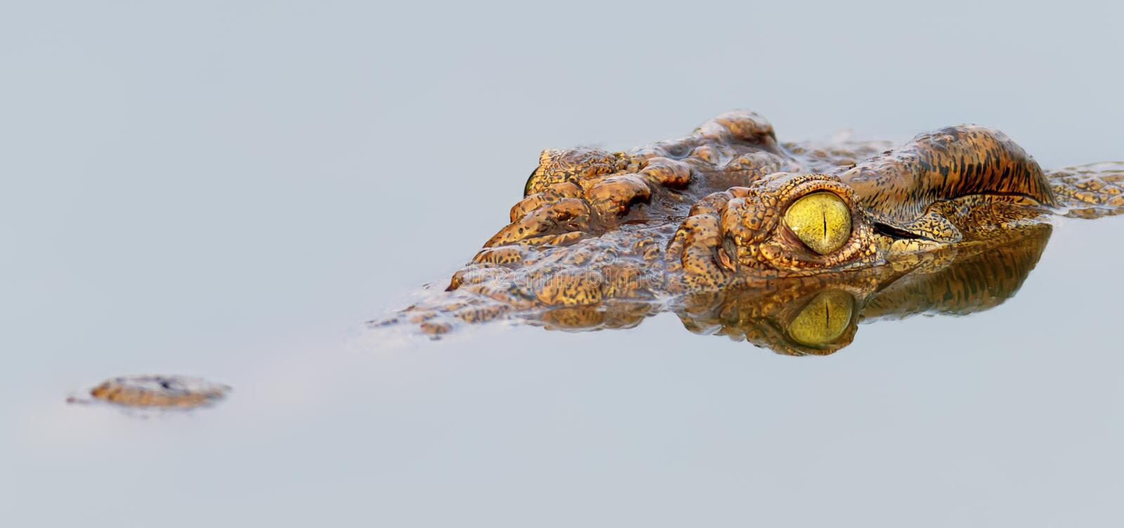Nile crocodile with perfect reflection in water stock photos