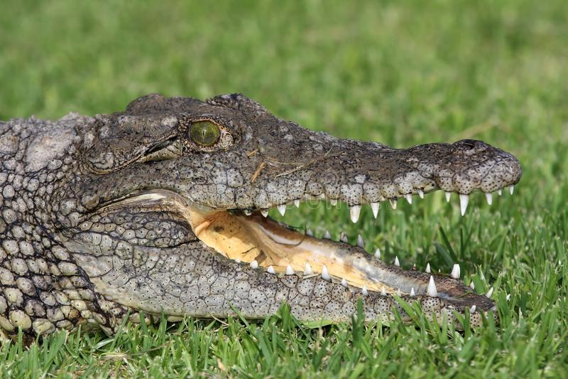 Download Nile Crocodile Portrait stock image. Image of open, croc - 12703445