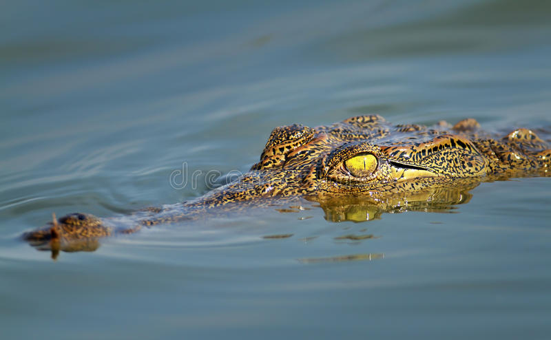 Nile crocodile portrait stock photography