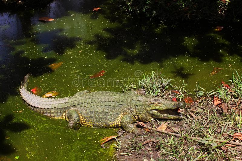 Nile crocodile resting in the sun royalty free stock photography