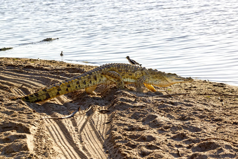 Nile Crocodile, Selous-Spelreserve, Tanzania royalty-vrije stock afbeeldingen