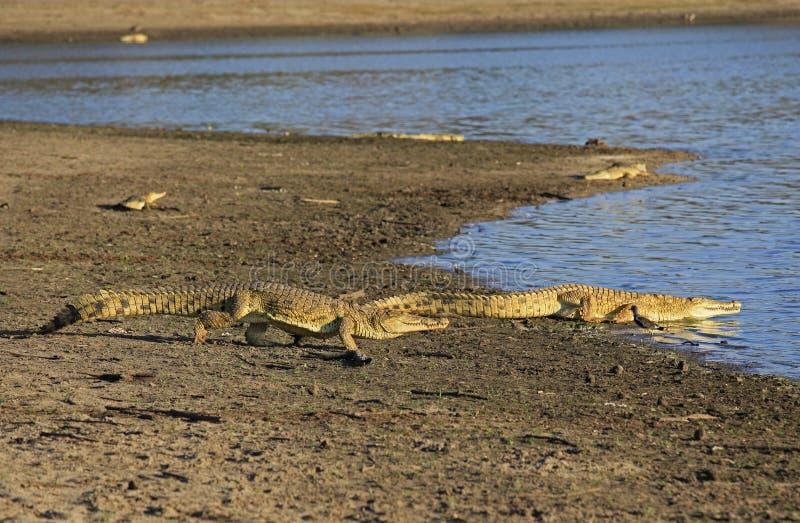 Nile Crocodile, Selous-Spelreserve, Tanzania stock foto