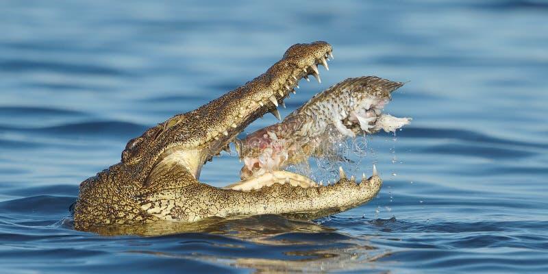 Nile Crocodile som äter en fisk royaltyfri foto