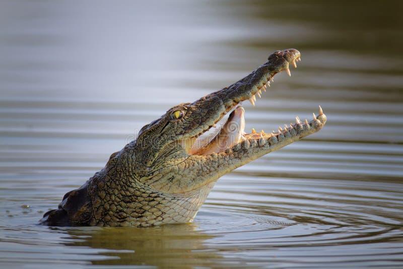 Nile crocodile swallowing fish royalty free stock photo
