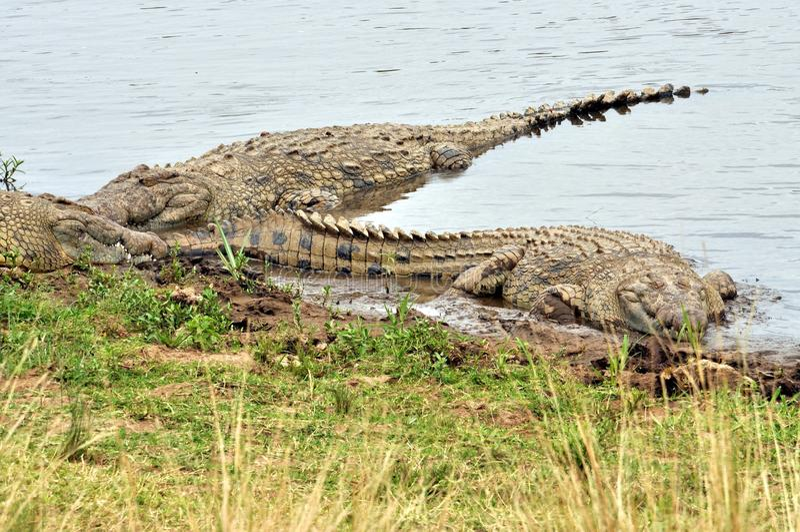 Nile crocodile waiting for prey stock photos