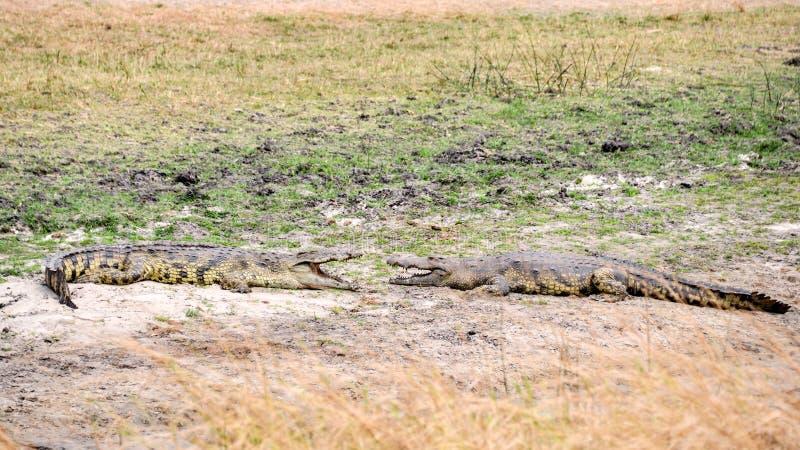 Nile crocodile waiting for prey stock photo