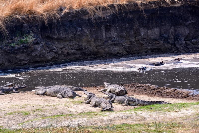 Nile crocodile waiting for prey royalty free stock photography