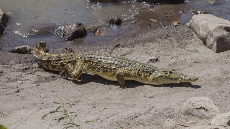 Nile Crocodile Walking op Zand royalty-vrije stock foto's