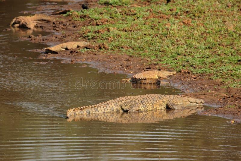 Nile crocodiles basking royalty free stock photography