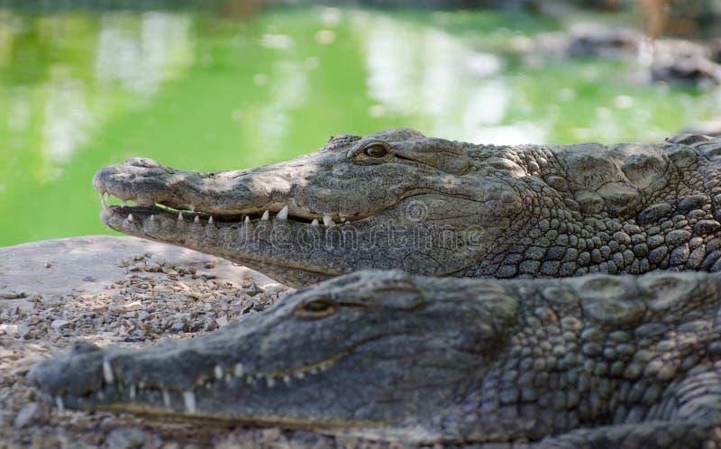 Nile Crocodiles på krokodillantgården i öken royaltyfri foto