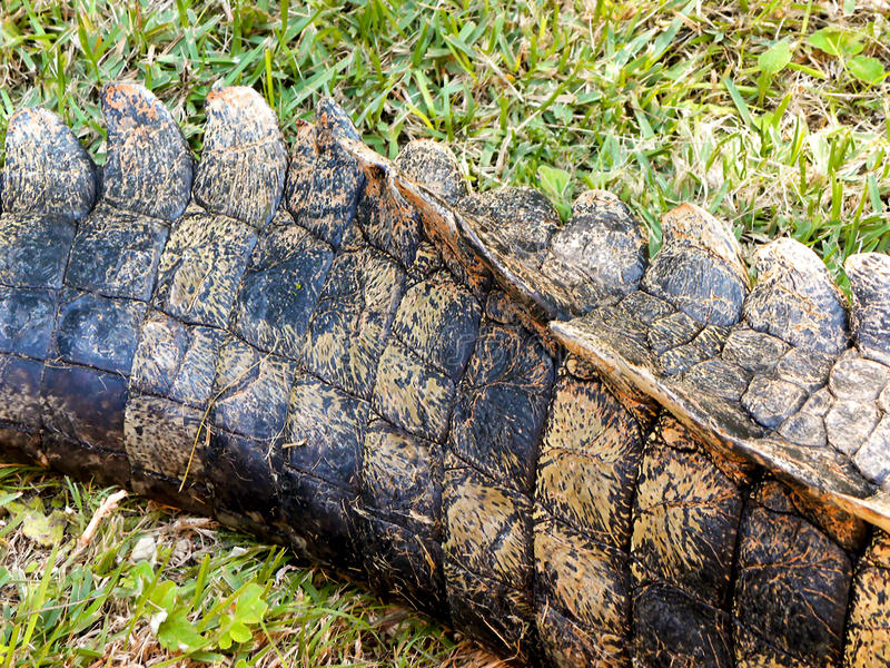 Nile Crocodiles tail stock photo