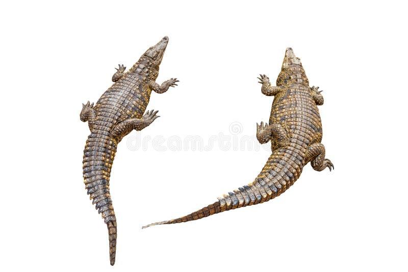 Nile crocodiles royalty free stock image