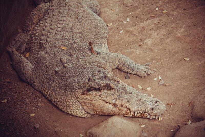 Nile krokodil royaltyfria bilder