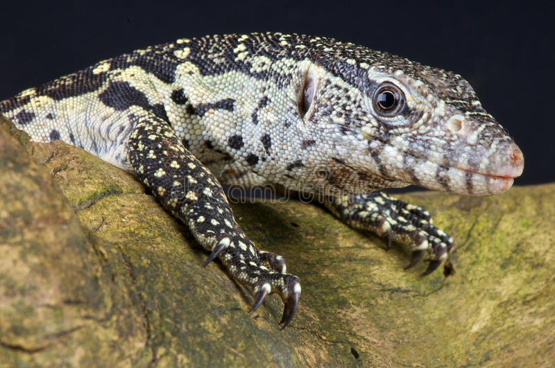 Download Nile monitor stock photo. Image of spotted, dangerous - 16968332