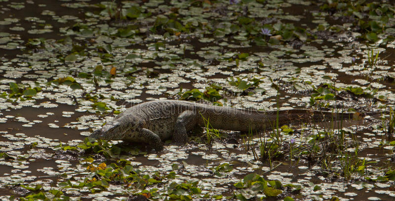 Download Nile Monitor in a lagoon stock photo. Image of equatorial - 25097616