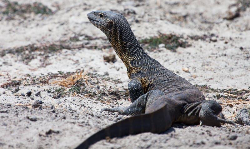 Nile Monitor Lizard imagen de archivo libre de regalías