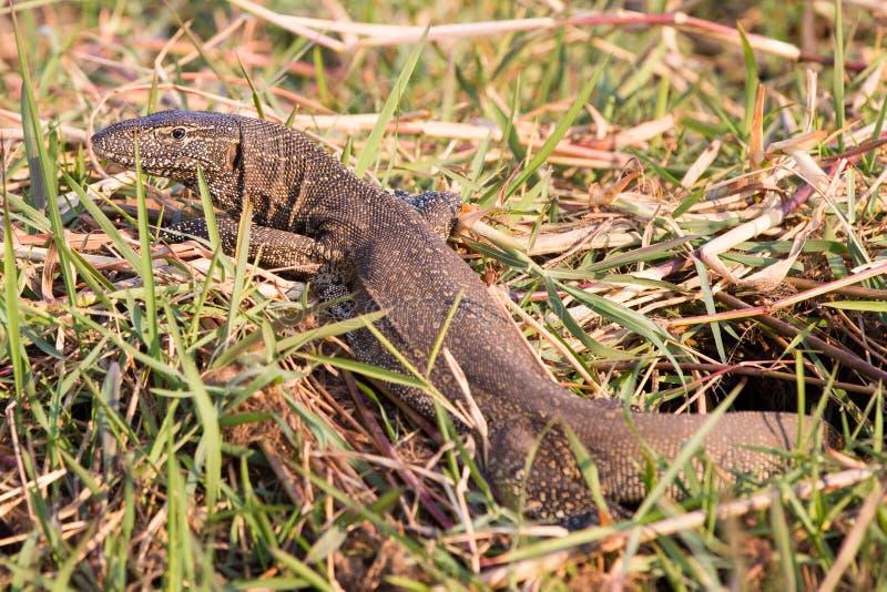 Nile Monitor Lizard imagen de archivo