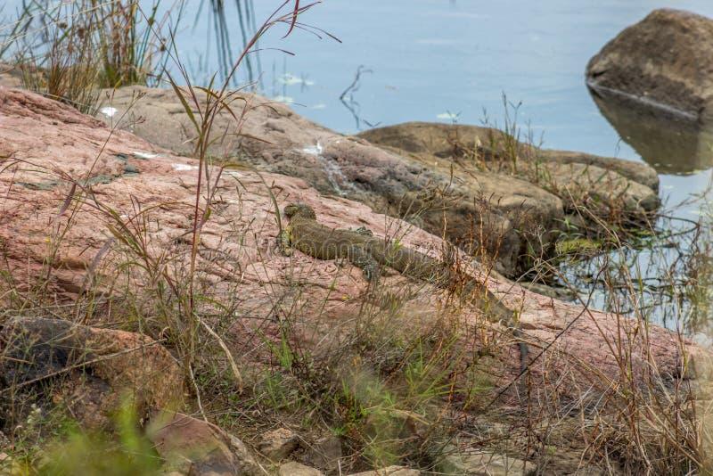 Nile Monitor Lizard royalty-vrije stock foto