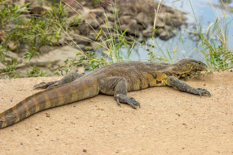 Nile Monitor Lizard image libre de droits