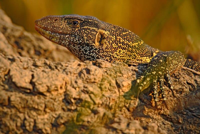 Nile Monitor, Varanus niloticus, Detailhauptporträt vom Reptil, Naturlebensraum, Nationalpark Chobe, Botswana, Afrika stockbild
